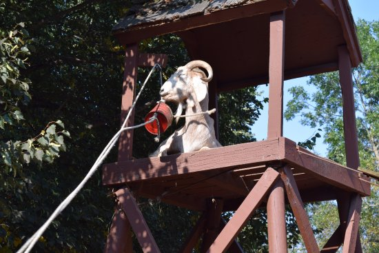 Hayward, WI: When we put feed into the bucket this goat learned how to pull the rope for the feed bucket.