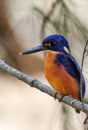Lamington National Park, Australia: Azure Kingfisher by Christmas Creek