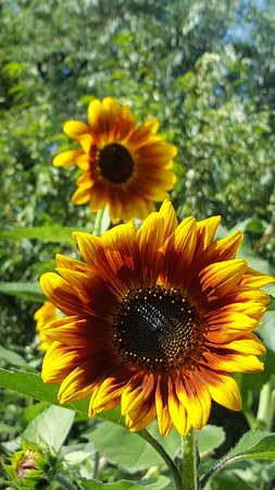 Burlington, كندا: Sunflower beauty