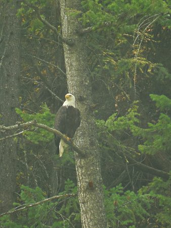 Alberton, MT: Our guide spotted two bald eagles.