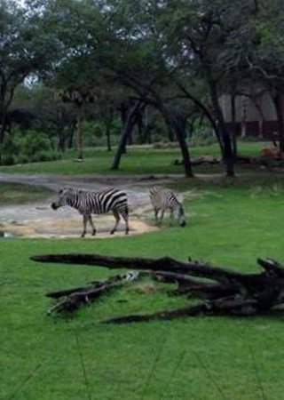 Disney's Animal Kingdom Villas - Kidani Village: Zebras!