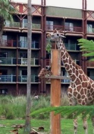 Disney's Animal Kingdom Villas - Kidani Village: Giraffes!