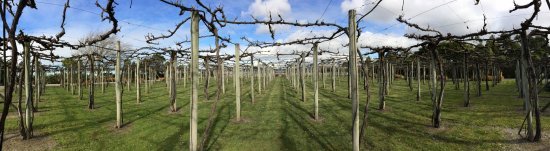 NZ overhead grape trellis