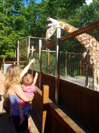 New Castle, PA: feeding the Giraffes some lettuce