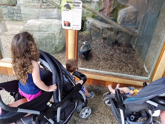 New Castle, Pensylwania: a rare Honey Badger