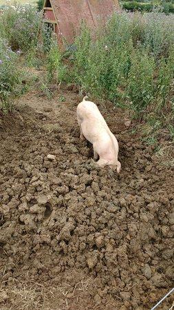 Adderbury, UK: rare breed pigs