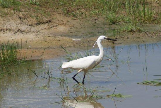 Pulborough, UK: Little Egret