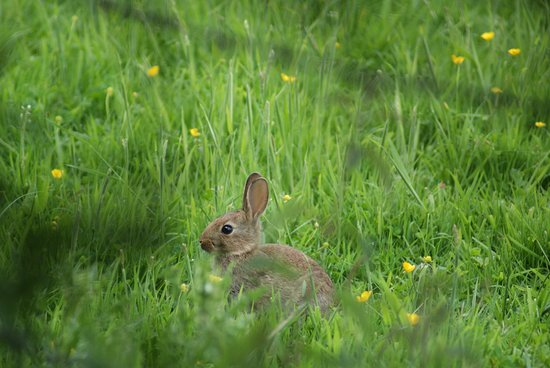 Pulborough, UK: One of the many rabbits.