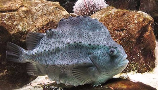 Brynsiencyn, UK: Lump fish