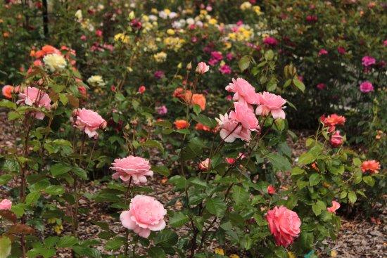 Breezy Knees Gardens: The Rose Garden