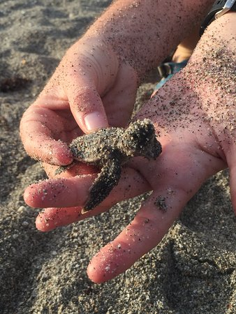 Juno Beach, FL: Baby Turtle