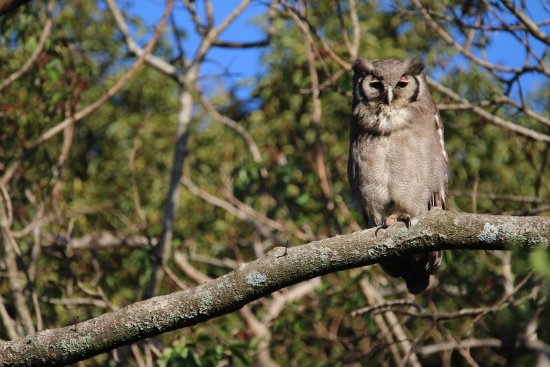 Thornleys Guest House: Verreaux's Eagle Owl IN the garden