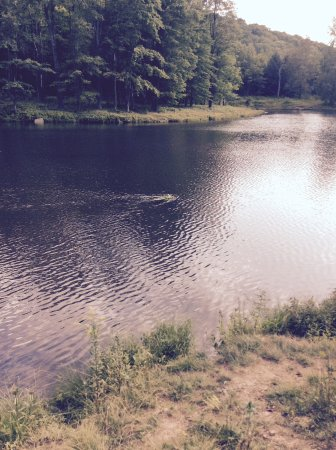 Allegany State Park: Science Lake with beaver (center) crossing