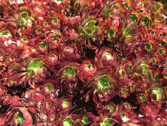 The Huntington Store: Aeonium succulent (red)