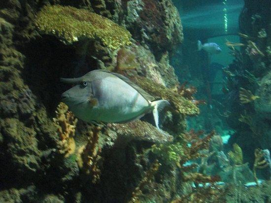 Unicorn Fish at Moody Gardens Aquasrium