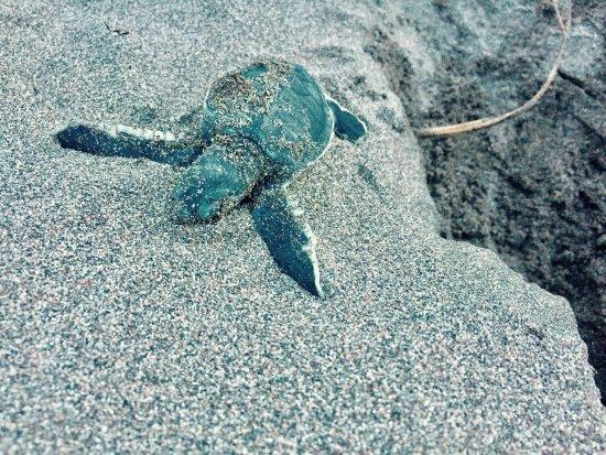 Tortuguero Costa Rica, nacimiento tortuga verde