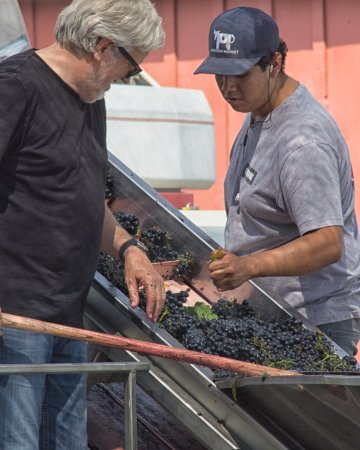 Rutherford, Kalifornien: Frog's Leap's owner alongside a worker, cleaning the grapes