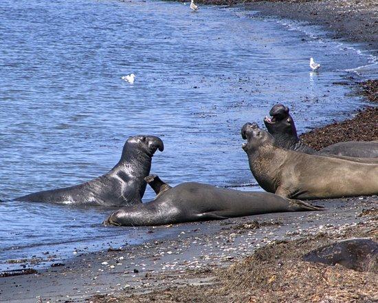 Pescadero, Califórnia: Elephant Seals conversing at Ano Nuevo
