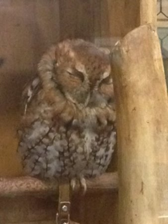 Castalia, OH : Blind injured and rehabilitated owl