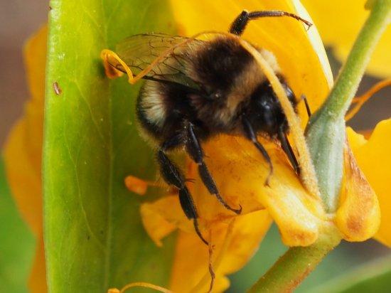 Burnie, Australia: So humble the bumble bee
