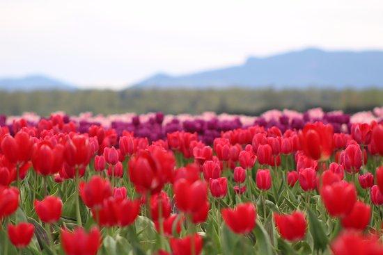 Mount Vernon, WA: Tulip Field at Tulip Town