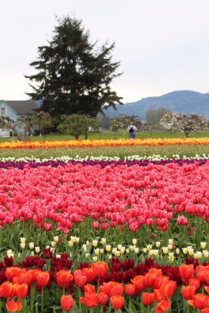 Mount Vernon, WA: Tulip Field at Tulip Town