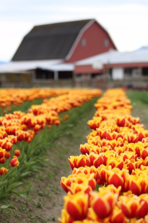 Mount Vernon, WA: The red barn at Tulip Town