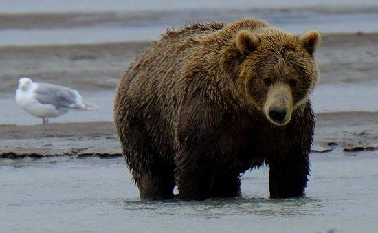 Alaska Bear Adventures: looking for salmon