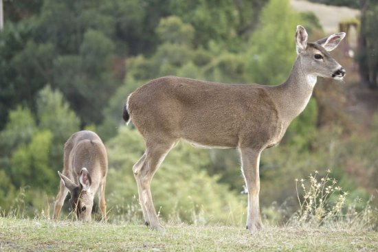 Cloverdale, CA: wild deer on hill slopes