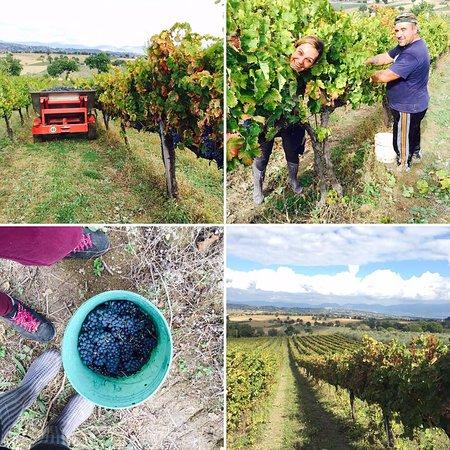 Giano dell'Umbria, Italy: vendemmia 2015