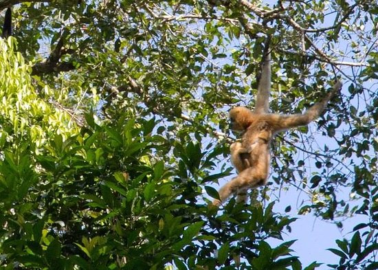 Banlung, Campuchia: Gibbon Watching
