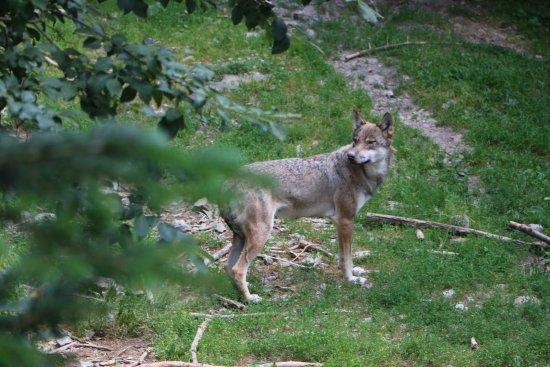 Parc Alpha: Les loups, comme si vous y étiez...