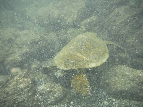 بيج آيلاند ريتريت: コンドミニアムから歩いてすぐの海岸で見かけた亀。