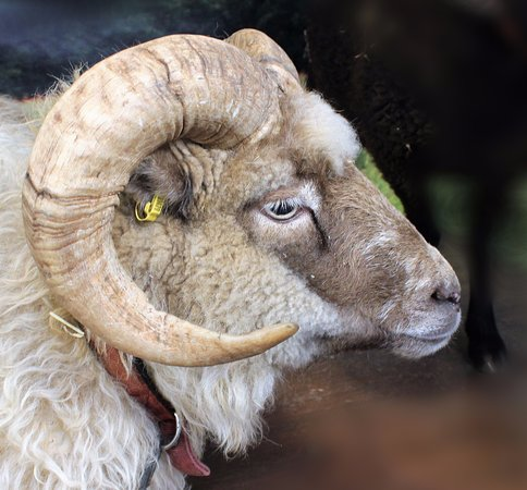 Guiting Power, UK: An example of a rare ram.