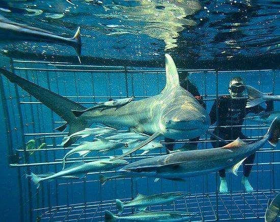 Shark Cage Diving KZN: photo2.jpg