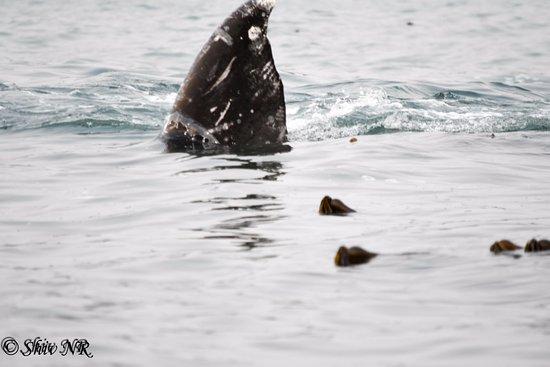 Depoe Bay, Oregón: Grey whale!
