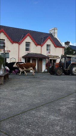 Lauragh, Ireland: Bringing in the cows