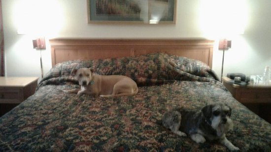 Pacific Gardens Inn: King-sized bed and look who is lounging Hobey & Sadie before they go to their beds =)