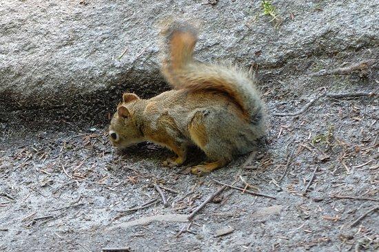 Stoneham-et-Tewkesbury, Canada : eekhoorn bij het tweede uitzichtpunt