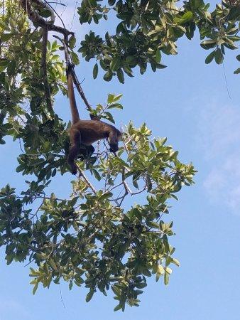 Ocean Riviera Paradise: wild life - monkeys in treetops!
