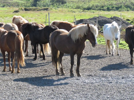 Mosfellsbaer, Islandia: Icelandic Horse