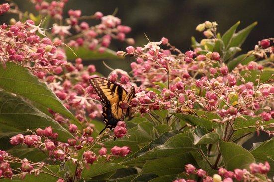 Beautiful and fragrant Peanut Butter Bush at the Lake Lure Flowering Bridge