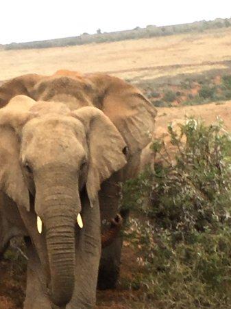 Amakhala Game Reserve, Sydafrika: Close encounters