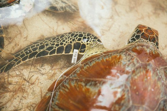 Turtle Island: Turtle conservation efforts include turtle tagging