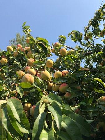 Ripening peaches (I think), beside Konoba Maslina patio.