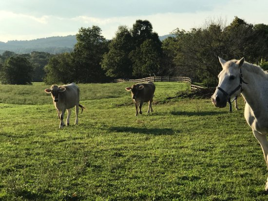 Leesburg, VA: cows and a watchful horse
