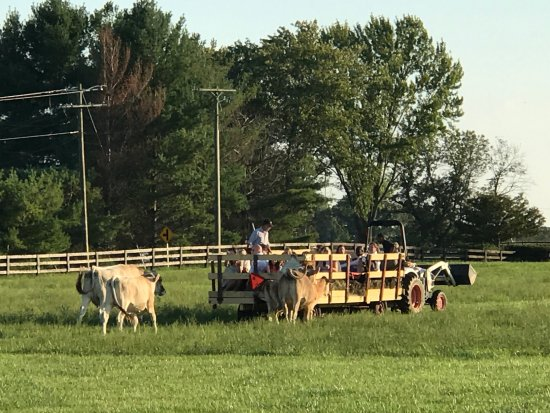 Leesburg, VA: cows following the hay wagon hoping for a handout