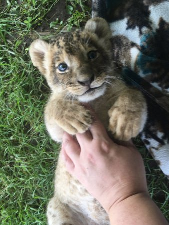 Bowmanville, Kanada: got to meet Lola, a 3 week old lion cub during our Lion Cub encounter