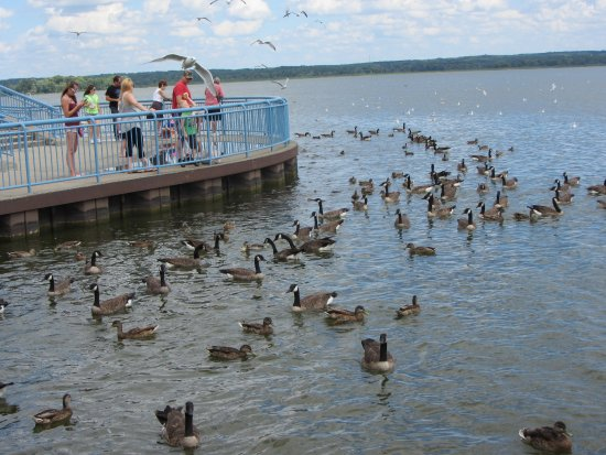Linesville, Πενσυλβάνια: Anticipation - geese, gulls, ducks and carp await bread throws at Pymatuning Spillway