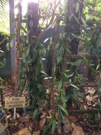The Island Spice Grove: Pictures taken during tour of spice garden.one picture shows cardamom flowers.